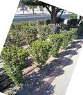 Conocarpus in kuwait by irvin calicut.jpg