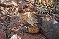 Conolophus subcristatus-IMG 0474.JPG