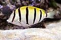 Convict Surgeonfish, Acanthurus triostegus.jpg