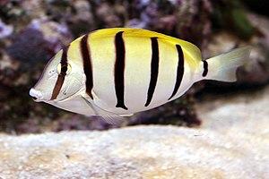 Acanthurus triostegus - Image: Convict Surgeonfish, Acanthurus triostegus