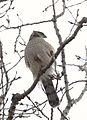 Cooper's Hawk (32942785525).jpg
