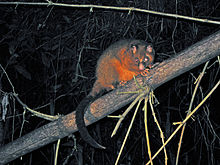 Coppery Brushtail Possum (3625102158).jpg