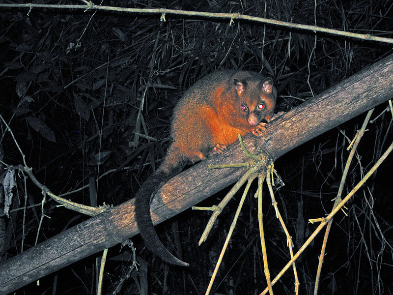 File:Coppery Brushtail Possum (3625102158).jpg