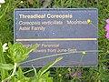 Coreopsis P7010497.jpg