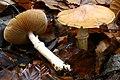 Cortinarius caperatus 20121111w.JPG