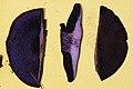 Cortinarius violaceus cap in cross section.jpg