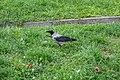 Corvus cornix (Minsk).jpg