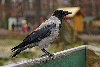 Hooded crow, adult