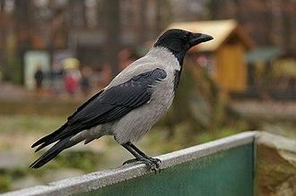 Hooded crow - In Berlin, Germany