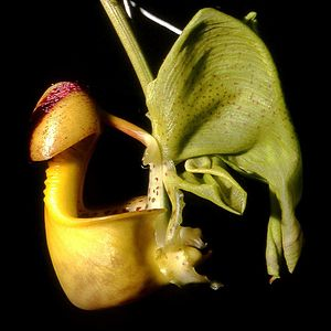 Bees and toxic chemicals - Bucket orchid