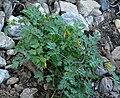 Corydalis aurea 1.jpg
