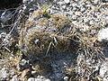 Coryphantha retusa ssp. meliospina? (5740379982).jpg