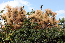 meaning of cotinus
