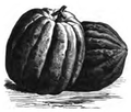Courge de Valence Vilmorin-Andrieux 1883.png