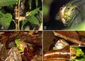 Courtship and amplexus in Mercurana myristicapalustris.png