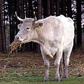 Cow eating straw new forest.jpg