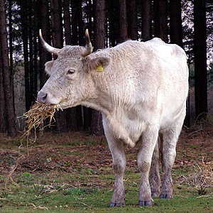 New Forest - Cow eating winter feed, Longdown Inclosure