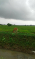 Cow in paddy field.png