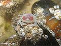 Crabe petit pois (Pinnotheres pisum) dans les aquariums de mareis.jpg