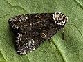 Craniophora ligustri - The Coronet - Совка бирючинная (41053879511).jpg
