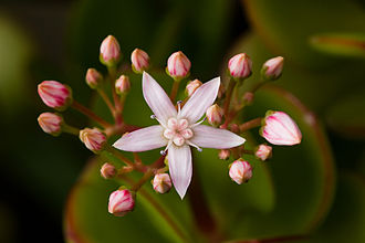 Merosity - Pentamerous flower of Crassula ovata