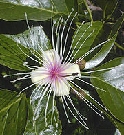 An example of a perfect flower, this Crateva religiosa flower has both stamens (outer ring) and a pistil (center).