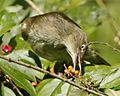 Cream-vented Bulbul (Pycnonotus simplex) - Flickr - Lip Kee (1).jpg