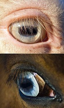 homozygous cream dilutes double dilutes have pale blue eyes while the blue eyes associated with white markings bottom are a clearer deeper color