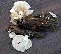 Crepidotus nyssicola (Murrill) Singer 950845.jpg