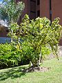 Crescentia cujete Linnaeus 2013 002.jpg