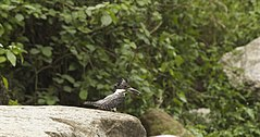 Crested kingfisher WLB IMG 9210.jpg