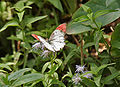 Crimson Tip (Colotis danae) at Hyderabad, AP W 171.jpg