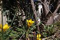 Crocus jaune 2.jpg