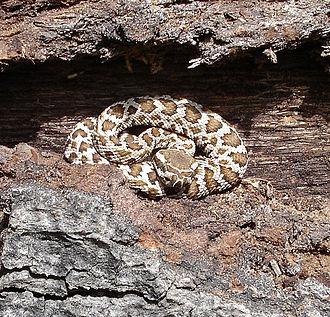 Crotalus oreganus helleri - C. o. helleri, juvenile