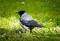 Crow (17578903408).jpg