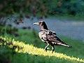 Crow カラス (227461123).jpeg