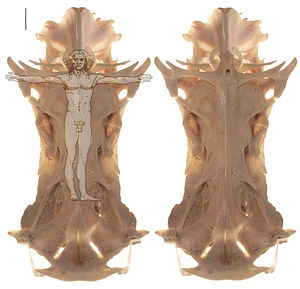 Ariidae - Image: Crucifix catfish skull with and without man