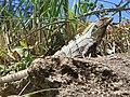 Ctenosaura similis Belize.jpg