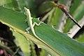 Cuban Green Anole (Anolis porcatus) (8591591039).jpg