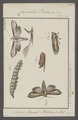 Cucullia - Print - Iconographia Zoologica - Special Collections University of Amsterdam - UBAINV0274 057 14 0004.tif