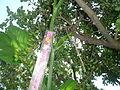 "Cucurbita argyrosperma ""calabaza rayada o cordobesa"" (Florensa) yema floral femenina F01 tallo anguloso 01-26 regla.JPG"