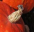 Cucurbita maxima mature peduncle detail.jpg