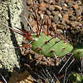 Cumulopuntia fulvicoma 2.jpg