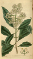Curtis's Botanical Magazine, Plate 3089 (Volume 58, 1831).png