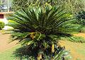 Cycas revoluta plant 03.JPG