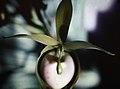 Cycnoches haagii - fl 2.jpg