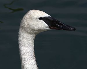Trumpeter swan - Its black bill is useful in distinguishing the trumpeter swan from other species