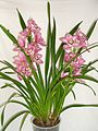Cymbidium Orchidee (5410435628).jpg
