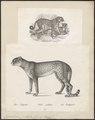 Cynailurus jubatus - 1700-1880 - Print - Iconographia Zoologica - Special Collections University of Amsterdam - UBA01 IZ22100149.tif