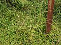 Cynoglossum ¿ lanceolatum Forssk. ? (5088428083).jpg